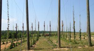 Goochland hops field