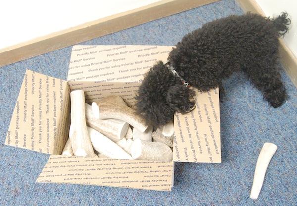 Filo the teacup poodle
