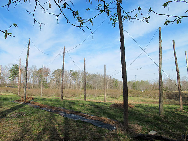 The company's Chesterfield hopyard features an adjustable trellis made from 20-foot cedar poles and aircraft cables.