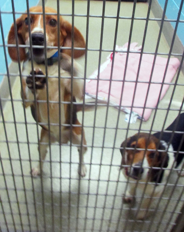 The SPCA will need temporary foster homes for many of their dogs during the renovation.